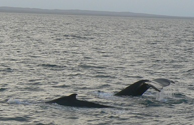 Humpback whales in Exmouth Gulf