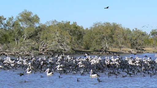 Longreach Waterhole - pelicans and cormorants fishing