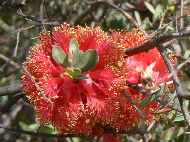 Bottle Brush type flower