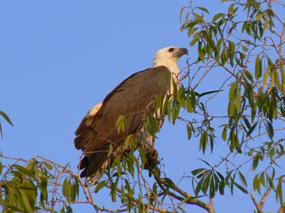 White-bellied Sea Eagle at South Alligator River