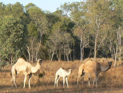 Camels employed to control Parkinsonia